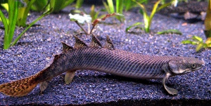 Bichirs are also known as dragon fish because of their dragon-like appearance. Source: http://fishaquatics.doomby.com/pages/bichirs-7.html