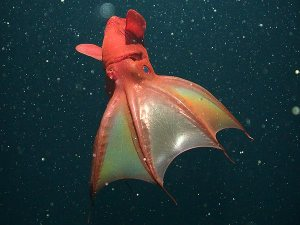 In some lighting, vampire squid have red colouration with bright blue eyes. Definitely not as creepy.  Image credit: National Geographic, MBARI