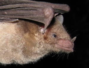 A close up of the long-nosed bat, showing its funny-looking nose.