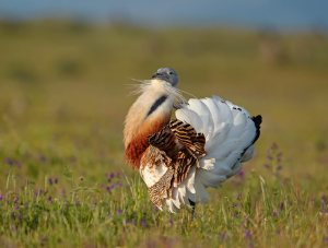 A male bustard in display.  Image source: http://www.resimsitesi.com/kuslar/toy-buyuk-toy/4