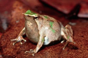 A 'pregnant' Darwin's frog.  Photo credit:  Michael and Patricia Fogden