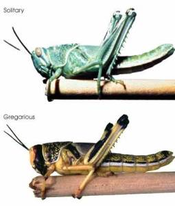 The difference between a solitary and gregarious desert locust nymph.  Photo source: Wikipedia
