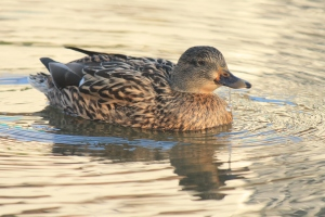A female mallard in the sunny waters of Cambridge.  Photo credit: Me.
