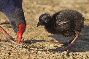 A parent feeding a chick. That is one ugly baby bird.  Image source: Wikipedia