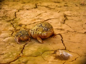 They are kind of cute, aren't they? Image source: http://www.caudata.org/forum/f53-other-amphibians/f54-anura-frogs-toads/f81-other-anurans/51280-breviceps-adspersus.html