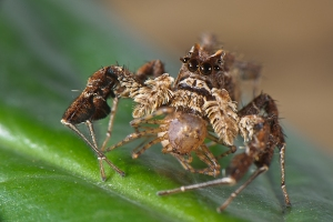 A Portia spider, having successfully caught its prey.  Image source: http://www.anura.it/stories/portia-eng