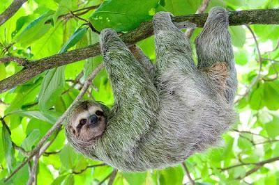 Sloth Hanging Upside Down The Sloth Hang Upside Down