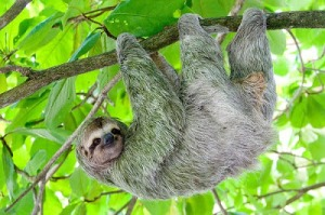 A sloth hanging from a tree. The sloth's big claws aren't just useful for defence - they let the sloth hang upside down while virtually expending no energy.  Image source: http://thebiggreeniecomic.blogspot.ca/2010/07/sloth-are-green-less-haste-more-sloth.html