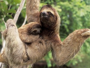 A three-toed sloth and her baby (successfully) clinging to her fur.  Image source: http://www.toptenz.net/top-10-world-records-slowness.php