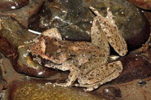 A great picture of a male tailed frog, showing the extended cloaca.  Image source: http://www.fieldherpforum.com/forum/viewtopic.php?f=6&t=17403