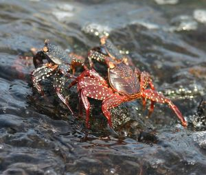 Some young sally lightfoot crabs hanging out together.  Image source: Wikipedia