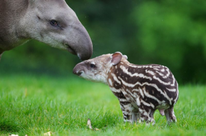 Baby tapirs are pretty cute. All species of tapir give birth to striped babies, having one calf about every two years.  Image credit: Patrick Bolger Photography