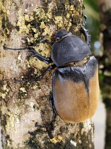 A female hercules beetle.  Image credit: Hans Hillewaert via Wikipedia