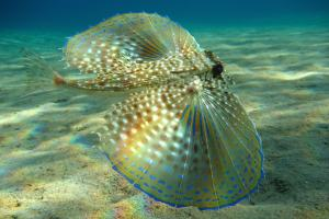 See how pretty they are when they have their fins spread out? Image source: Wikipedia