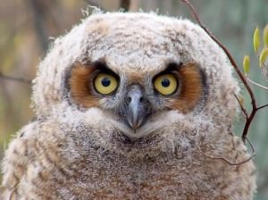 He hasn't quite grown into those eyes yet... Image source: http://www.nebirdsplus.com/owls.htm