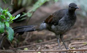 Females don't have quite the impressive stature as males, and the can't sing as well either.  Image source: http://www.zoo.org.au/healesville/animals/lyrebird