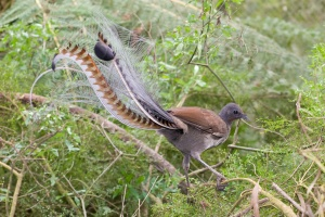 A male superb lyrebird. They really are quite beautiful.  Image source: Wikipedia