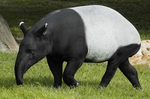 The very interesting looking Malayan tapir.  Image source: http://hype.my/newsdesk/tapitapir-local-endangered-species-garners-attention-at-1600pandasmy-tour/