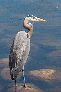 A typical great blue heron pose.  Image source: Wikipedia
