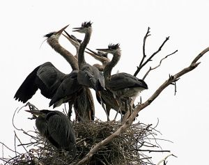 Great blue herons at a nest.  Image source: Brocken Inaglory via Wikipedia