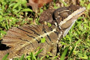 A brown basilisk lazing in the sun, preparing for some sprints across a pond.  Image source: Wikipedia