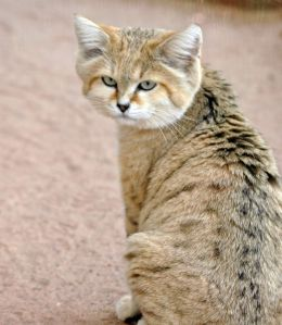 Don't they just have the funniest faces?  Image source: https://felids.files.wordpress.com/2011/11/arabian-sand-cat.jpg