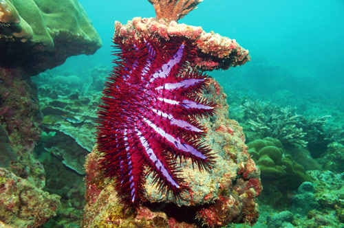 Crown-of-thorns Starfish (Acanthaster planci) – Our Wild World