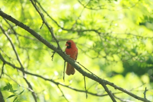 The best picture I've been able to take of a cardinal. I will try better this spring.