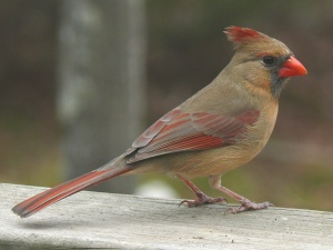 A female northern cardinal. Look at that beak!  Image source: Wikipedia