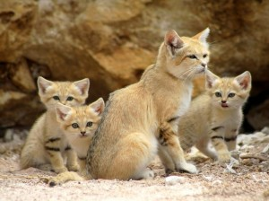 A sand cat and kittens. Too cute.  Iamge source: http://www.zmescience.com/ecology/animals-ecology/animal-files-sand-cat-the-animal-that-doesnt-need-to-drink-water/