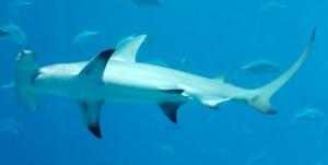 A great hammerhead swimming along.  Image source: Wikipedia