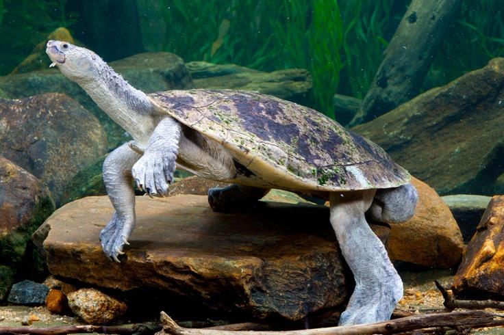 Mary river turtle algae - photo#54