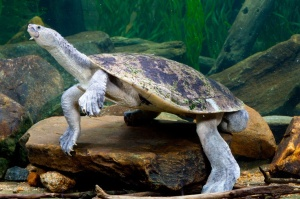 Mary River turtles have very large back legs and streamlined shells, making them exceptionally good swimmers.  Image source: https://www.pinterest.com/pin/235031674275220025/