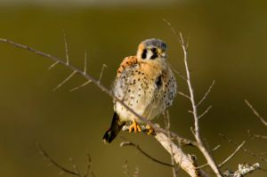 A young kestrel. Isn't it cute? Image source: Wikipedia