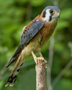 A male American kestrel.