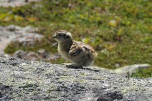 Isn't it just adorable? Image credit: MagicPiano via Wikipedia