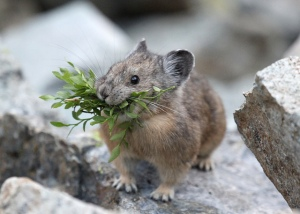 Isn't it just the cutest?  Image source: http://blog.nature.org/science/2014/04/22/citizen-science-tuesday-pika-project-nature-conservation/