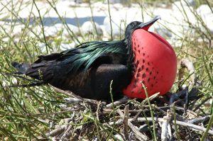 A great frigatebird displaying his massive throat pouch.  Image credit: Jason Corriveau via Wikipedia