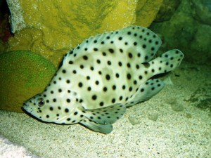 See how spotty they are?  Image source: Wikipedia