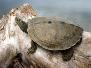 A false map turtle in typical basking position.  Image source: http://herpnet.net/northdakota-herpetology/turtles/79-turtles-of-north-dakota-category/81-false-map-turtle-graptemys-pseudogeographica