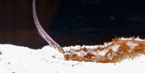 A pearlfish inspecting its host.  Image source: http://reefbuilders.com/2013/09/05/cloaca-pearlfish-bizzare-behavior-caught-tape/