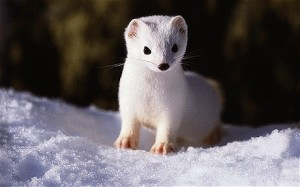 A stoat in the ermine phase of its coat.  Image source: http://www.zaum.com.au/blog/tag/stoat/