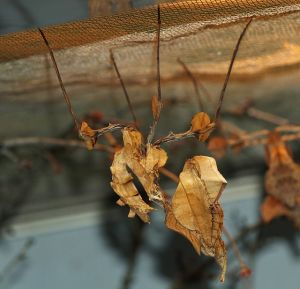 Some young devil's flower mantises. They aren't as cool as adults, but they do look like dead leaves.  Image source: Wikipedia