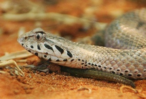 A smooth-scaled death adder.  Image credit: Petra Kerstedt via Wikipedia