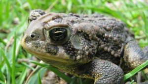 A close up of a Canadian toad. They can be differentiated from American toads by the ridge between their eyes.  Image source: http://www.naturenorth.com/Herps/MHA_Toads.html