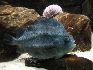 LumpfishPicture1