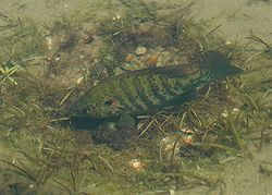 A male sunfish guarding the nest he has painstakingly made.  Image source: Wikipedia