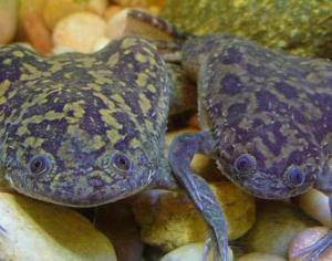 Some African clawed frogs hanging out. Image credit: Tim Vickers