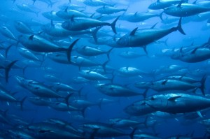 A school of bluefin tuna, swimming around. Image source: http://iss-foundation.org/2012/08/23/exploring-the-ecosystem-impacts-of-farmed-bluefin-tuna/