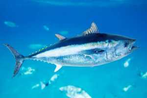 They are pretty neat looking fish, actually. I like how shiny they are.  Image source: http://www.earthtimes.org/conservation/model-studies-bluefin-tuna-populations/1707/